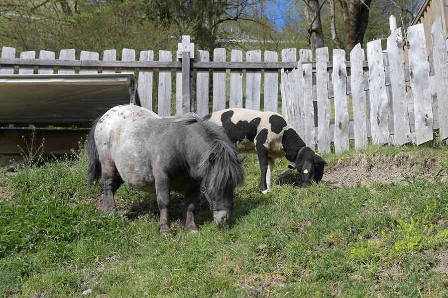 Streichelzoo Pony