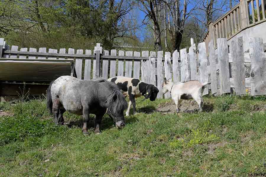 Streichelzoo Pony und Ziege